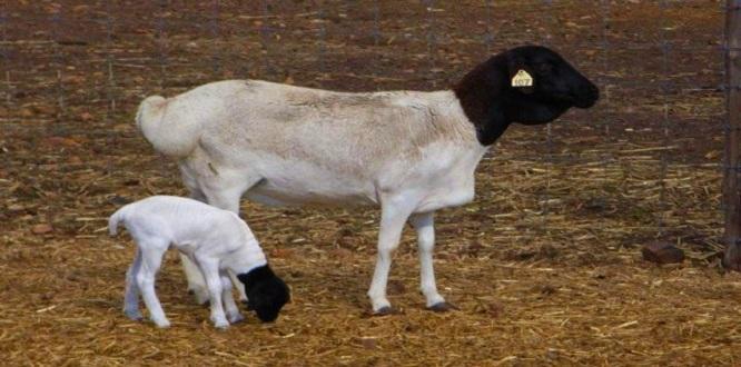 TİGEM 300 koyun başvuru işlemleri başladı! Peki şartları neler?