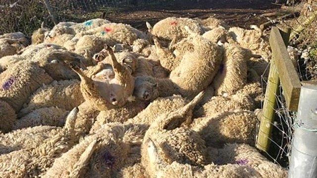 Van'da şoke eden olay! 500 koyun uçurumdan atlayıp intihar etti!