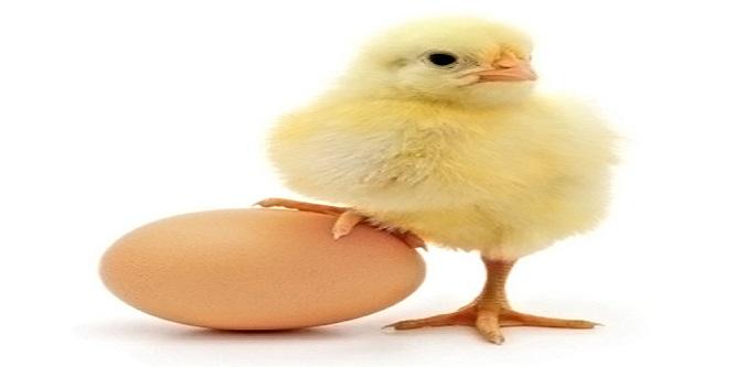 Bozuk sanılıp çöplüğe bırakılan yüzlerce yumurtadan civciv çıktı