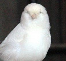 İtalya'daki yarışmada 32 bin 500 kuşun arasından dünya 2'ncisi oldu