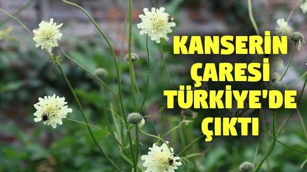 Türk bilim insanları, Kanserin çaresini 'yerli otta' arıyorlar