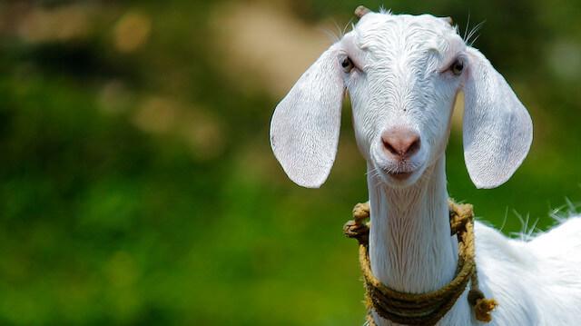 20 bin avroyu yiyen keçiyi kesip akşam yemeğinde yediler