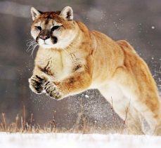 Kendisine saldıran dağ aslanını boğarak öldürdü