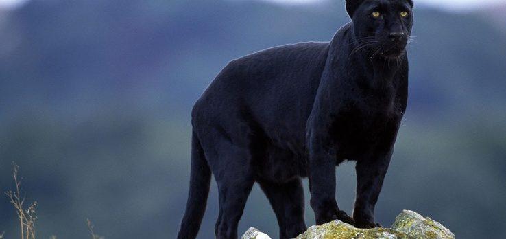 Efsanelere konu olan 'kara panter' 110 yıl sonra ilk kez görüntülendi