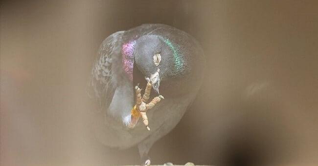 Dünyanın en pahalı güvercini Armando, 1.25 milyon euro'ya satıldı